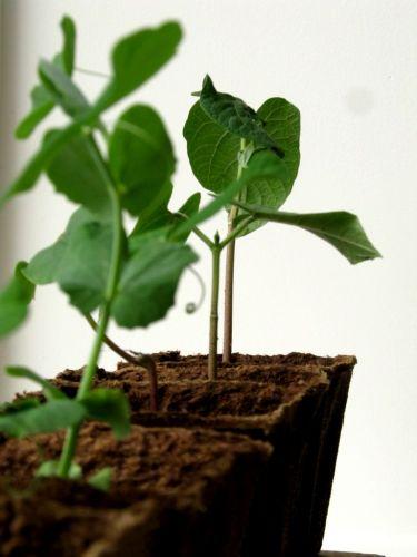 """Chique"" Seedlings"
